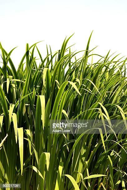 Long Grass in the Sun
