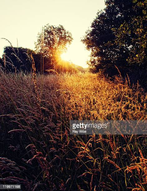Long grass of Epping Fores