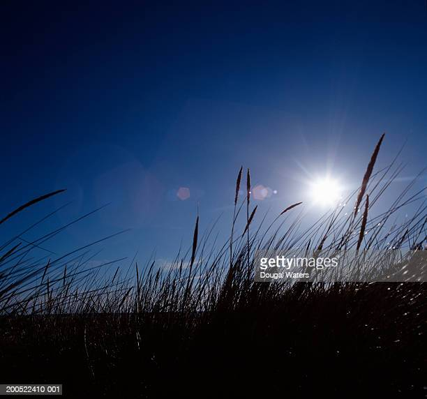 Long grass, with sun, low angle view, (lens flare)