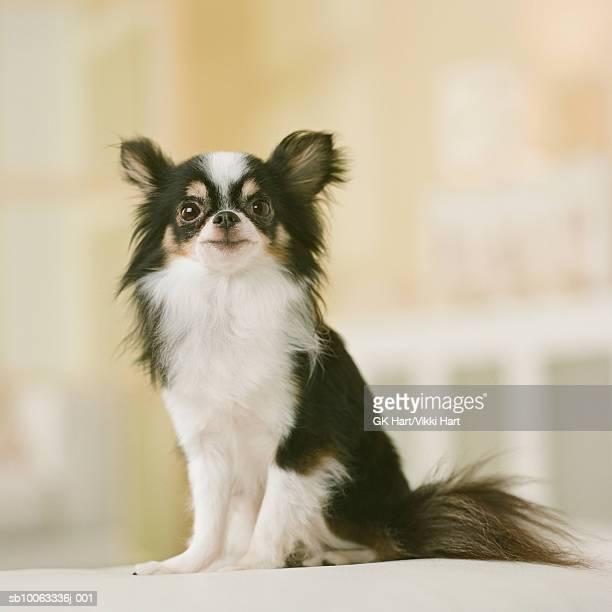 Long Hair Chihuahua Dog sitting, close-up