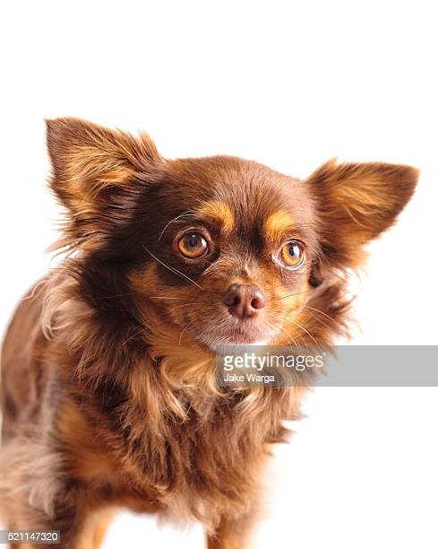 long hair chihuahua in studio - jake warga stock pictures, royalty-free photos & images