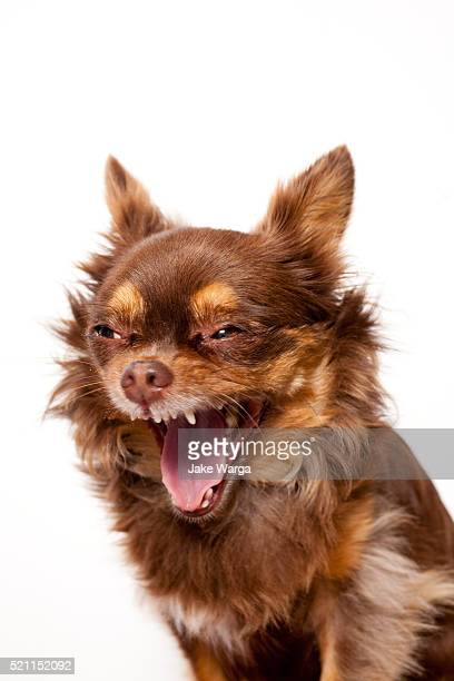 long hair chihuahua in studio - yawning stock pictures, royalty-free photos & images