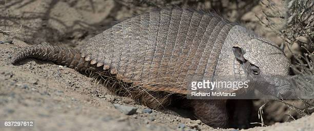 Long haired armadillo  in Torres del Paine, Chile.