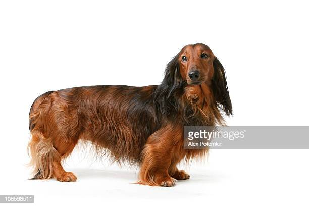 long haired badger dog - dachshund stock pictures, royalty-free photos & images