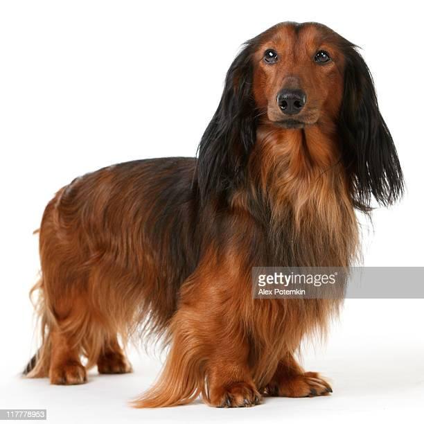 long haired badger dog