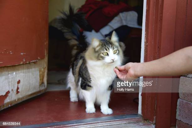 Long haired cat being offered a treat