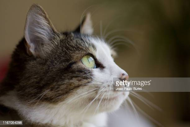 long haired cat pet portrait - sorocaba stock pictures, royalty-free photos & images