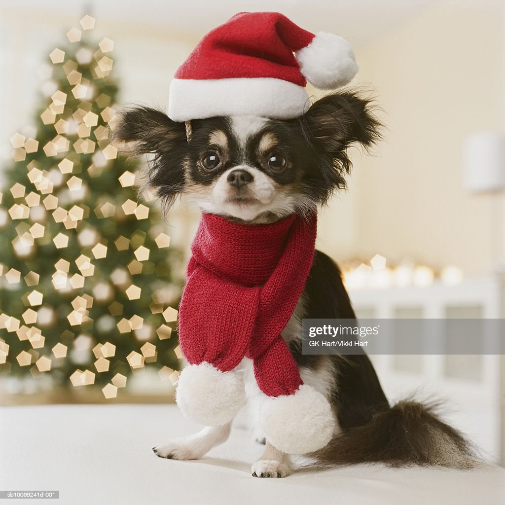 Long Haired Chihuahua with Santa hat and scarf, close-up : Stockfoto