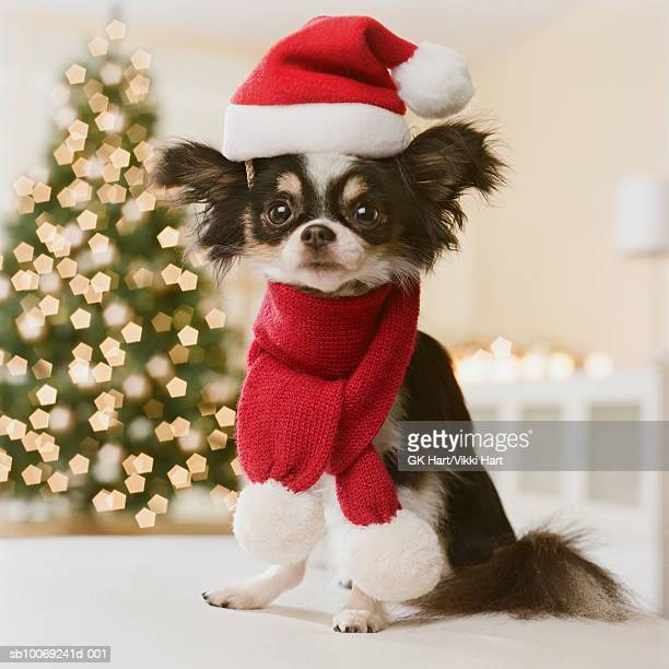 Long Haired Chihuahua with Santa hat and scarf, close-up