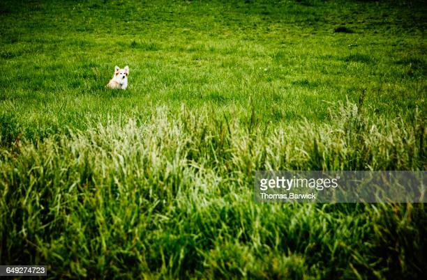 Long haired corgi sitting in field at dog park