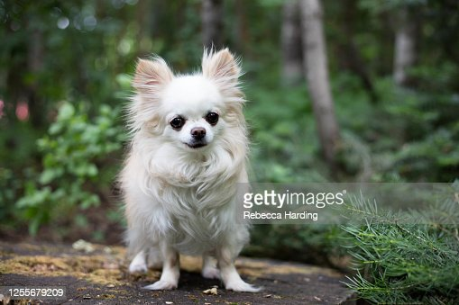 10 907 Chihuahua Dog Photos And Premium High Res Pictures Getty Images