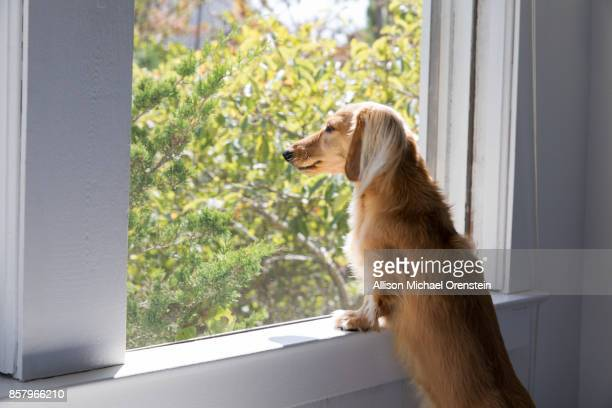 long haired dachshund looking out the window - long haired dachshund stock photos and pictures