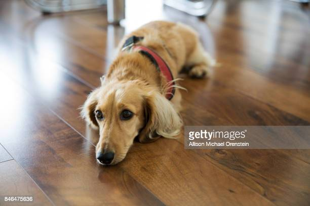 long haired dachshund on the floor - long haired dachshund stock photos and pictures