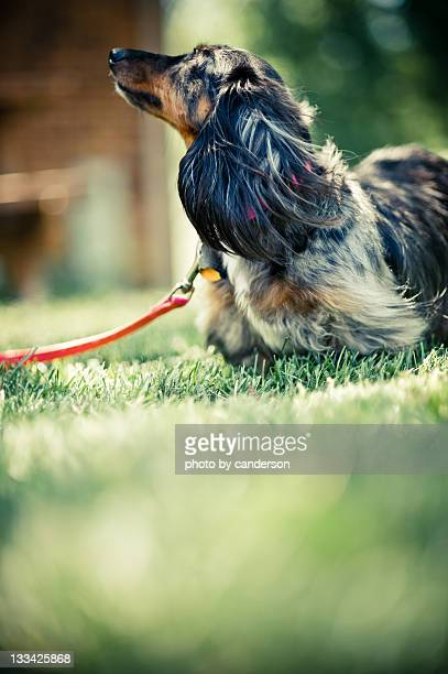 long haired dachshund - long haired dachshund stock photos and pictures