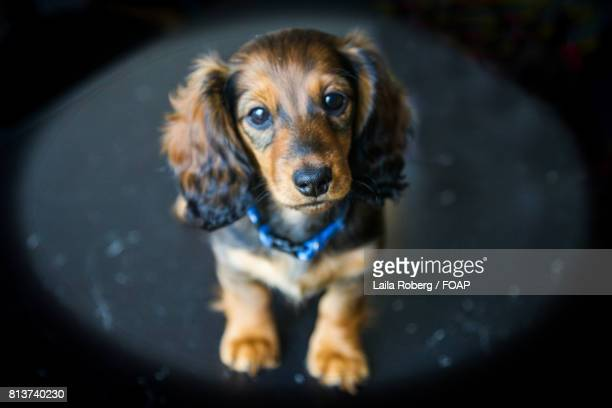 long haired dachshund puppy - long haired dachshund stock photos and pictures