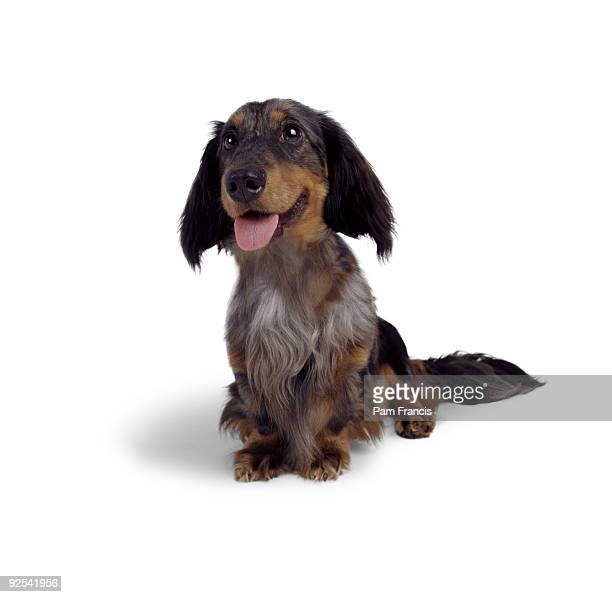 Long Haired Dachshund Sitting And Smiling