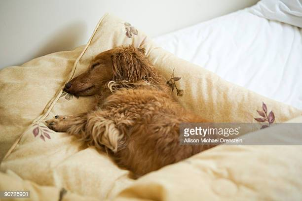 Long haired dachshund sleeping in bed.