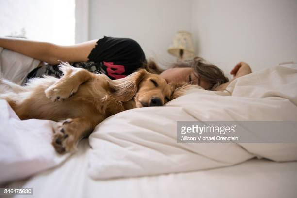 long haired dachshund sleeping in bed with his human - americas next top dog stock pictures, royalty-free photos & images