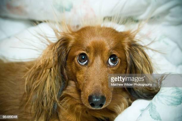 long haired dachshund with static electricity - strom haare stock-fotos und bilder