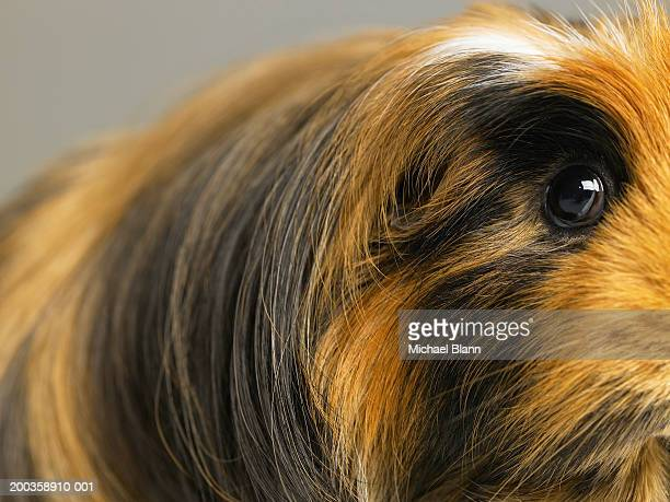 Long haired ginger, black and white guinea pig, close-up