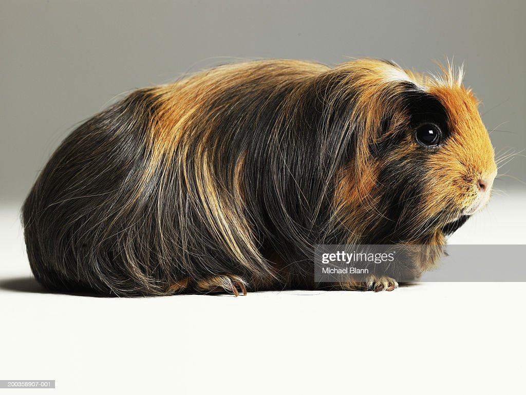 Long haired ginger, black and white guinea pig : Stock Photo