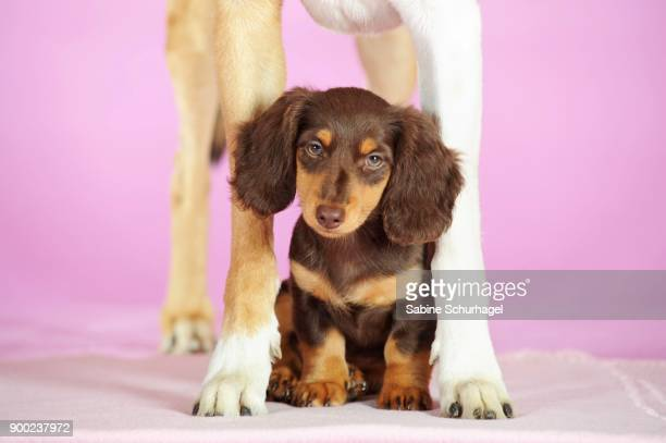 World S Best Long Haired Dachshund Stock Pictures Photos