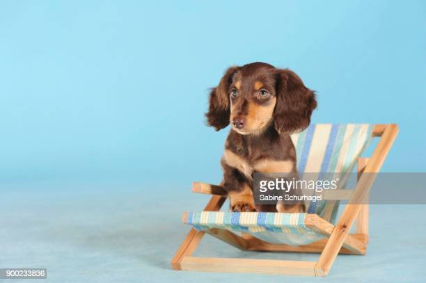 long haired miniature dachshund (canis lupus familiaris), brown, puppy in small deckchair, studio shot - long haired dachshund stock photos and pictures