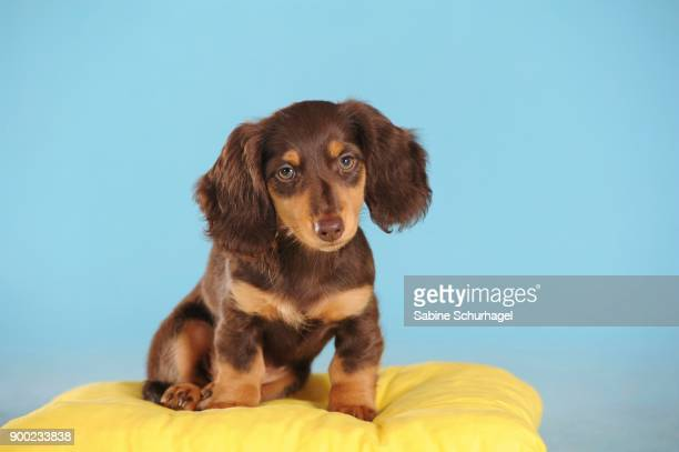 long haired miniature dachshund (canis lupus familiaris), brown, puppy on pillow, studio shot - long haired dachshund stock photos and pictures