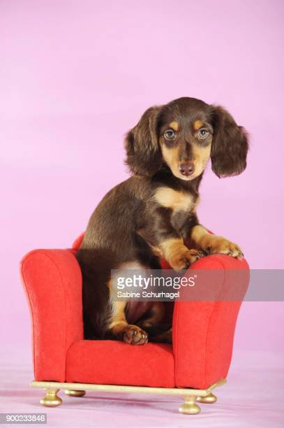 long haired miniature dachshund (canis lupus familiaris), brown, puppy sitting in red chair, studio shot - long haired dachshund stock photos and pictures