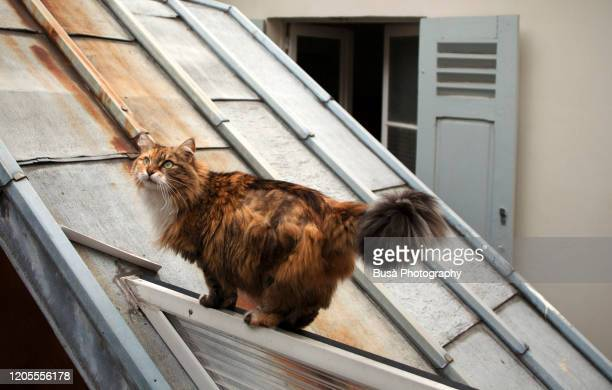 long haired red and brown cat walking on tin roof and looking at camera - animal whisker stock pictures, royalty-free photos & images