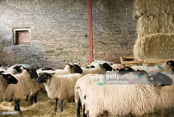 long haired sheep in barn - lyn holly coorg stock pictures, royalty-free photos & images