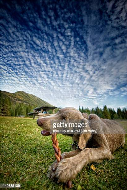 Long haired weimaraner dog chewing bread