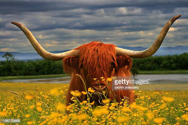 long horn bull scottish bull - kildare stock photos and pictures