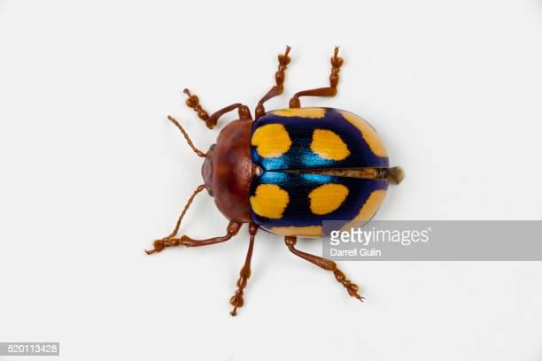 long horned beetle diastocera wallichi - coleottero foto e immagini stock