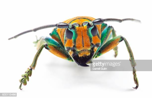 long horned beetle sternotomis pulchra ornata head on view - horned beetle stock pictures, royalty-free photos & images