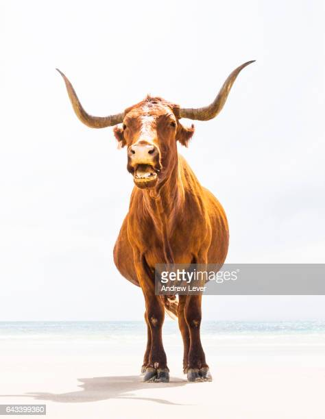 long horned cow - texas longhorn cattle stock photos and pictures