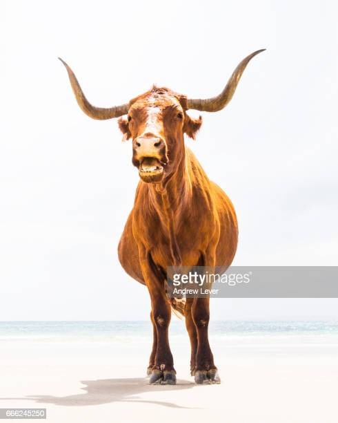 long horned cow. - texas longhorn cattle stock photos and pictures