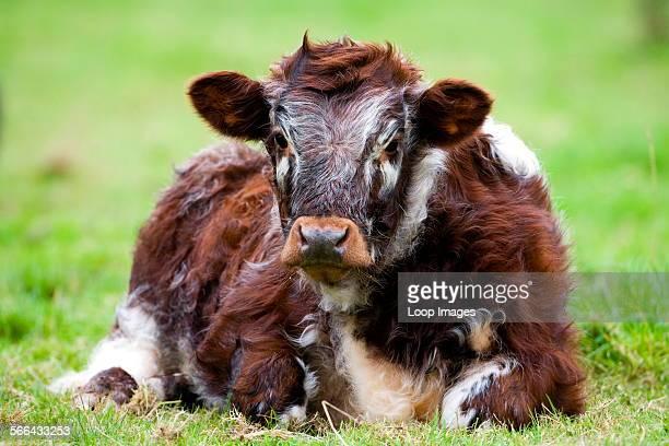 Long Horned Cow sitting in a field.