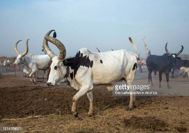 Long horns cows in a Mundari tribe camp Central Equatoria Terekeka South Sudan on February 13 2020 in Terekeka South Sudan
