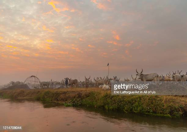 Long horns cows in a Mundari tribe camp on the banks of River Nile Central Equatoria Terekeka South Sudan on February 13 2020 in Terekeka South Sudan