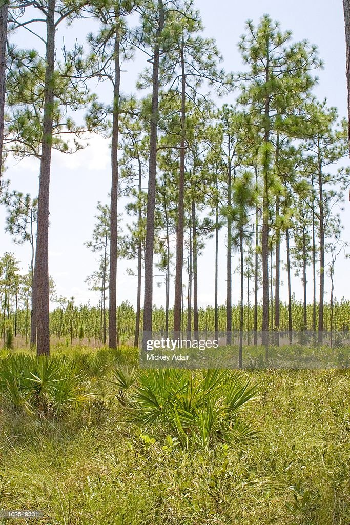 Long leaf pine forest along The Big Bend Scenic Byway in Franklin County, Florida in 2009.