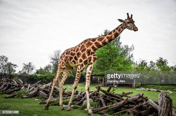 long neck girl - long neck animals stock pictures, royalty-free photos & images