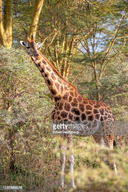 long neck - long neck animals stock pictures, royalty-free photos & images