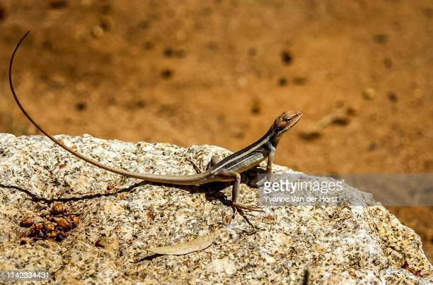 long nose dragon - alice springs - nt < australia - lizard stock pictures, royalty-free photos & images