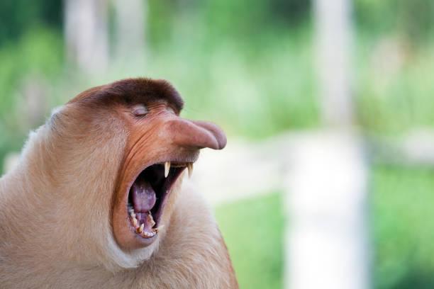Long Nose Monkey Yawning Sabah - Fine Art prints