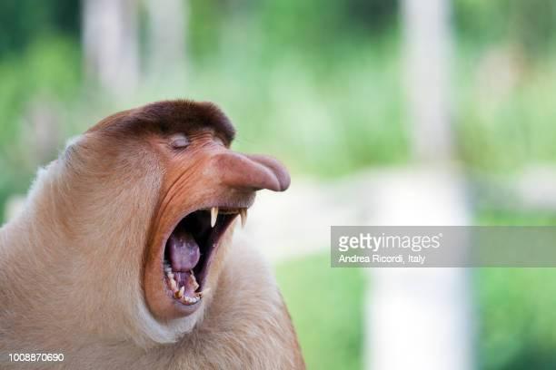 long nose monkey yawning, sabah, borneo, malaysia - animal stock pictures, royalty-free photos & images