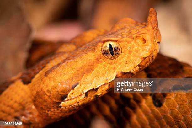 Long nose viper