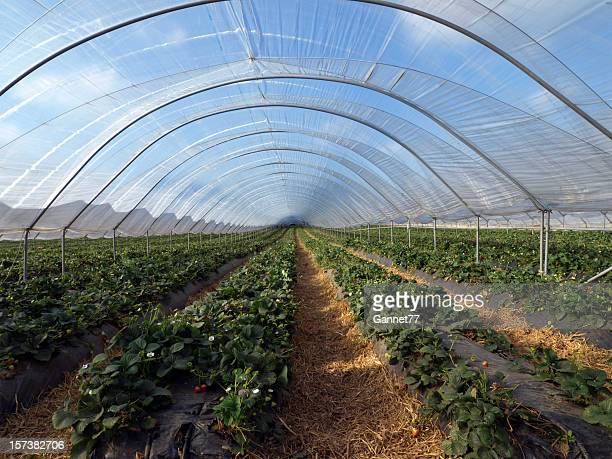 A long polytonal filled with strawberry plants