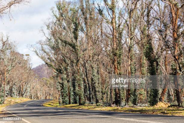 long road with black burnt trees beside it with eucalyptus gums leaves regrowing - extra long ストックフォトと画像