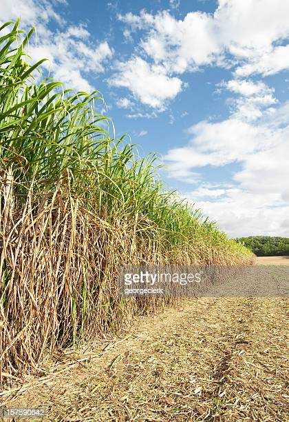 Long Row of Sugar Cane